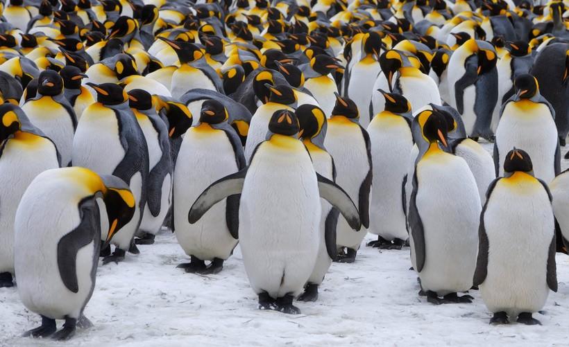 На фото: Императорский пингвин