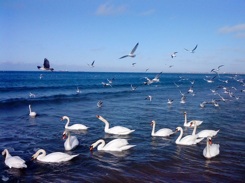 Лебеди на пляже Анапы в феврале