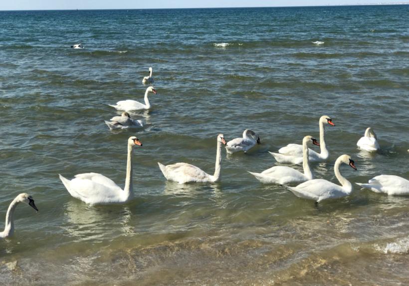 Лебеди остаются в Анапе зимовать
