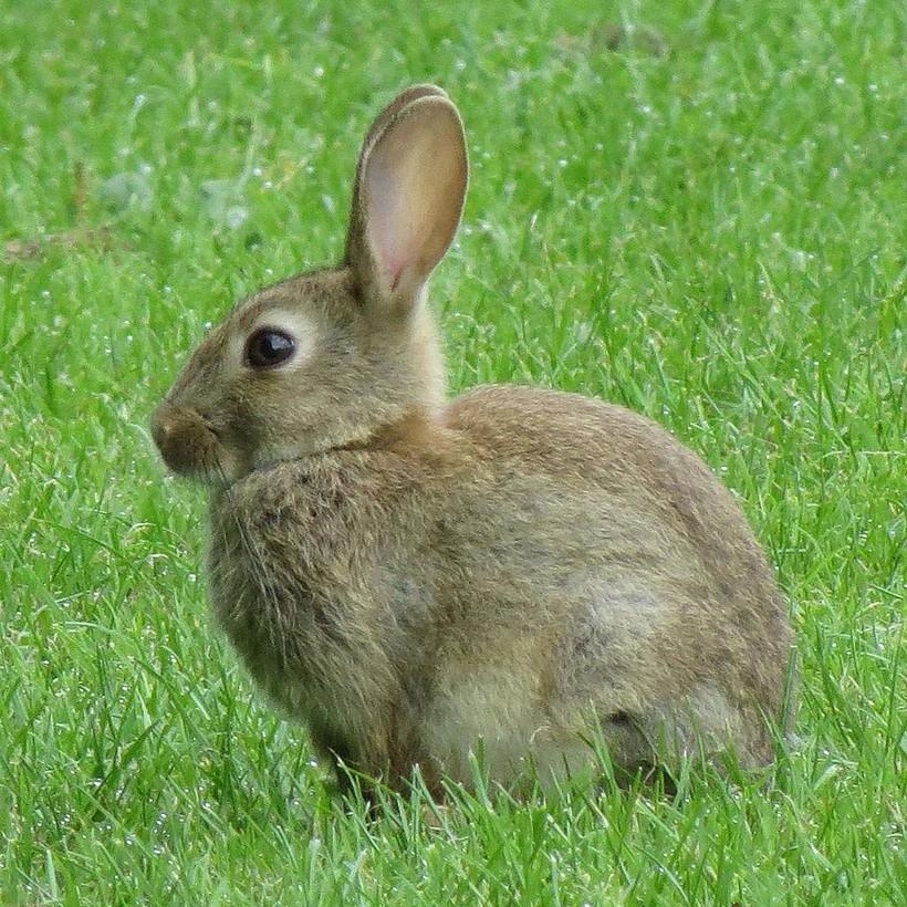 Европейский кролик