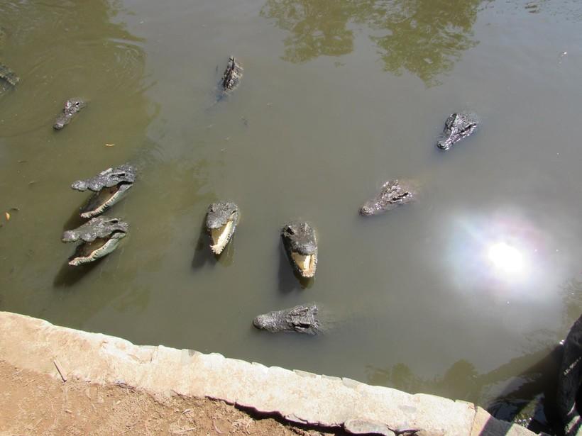 В Бинь Чау живут крокодилы