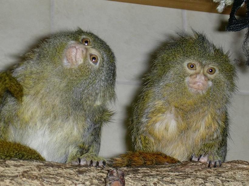 Обнаружен новый вид самых крошечных обезьянок в мире