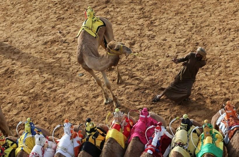 Фестиваль верблюдов в Дубае в январе