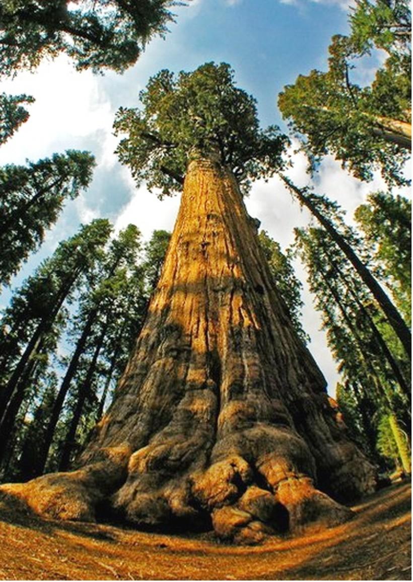Название самого большого дерева - Гиперион