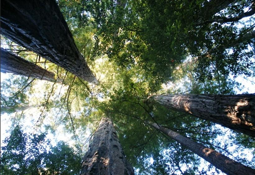 Топ самых больших деревьев в мире