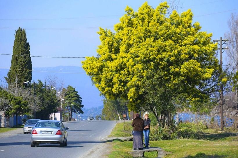 Цветение мимозы в марте в Абхазии