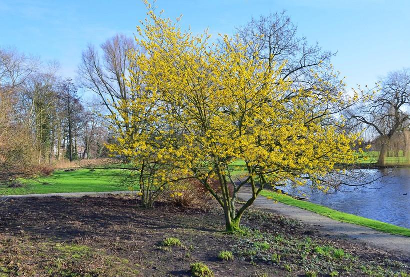 Дерево кизила