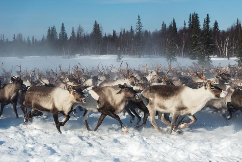 Травоядные, которые едят грызунов и рыбу: потрясающие факты о северных оленях