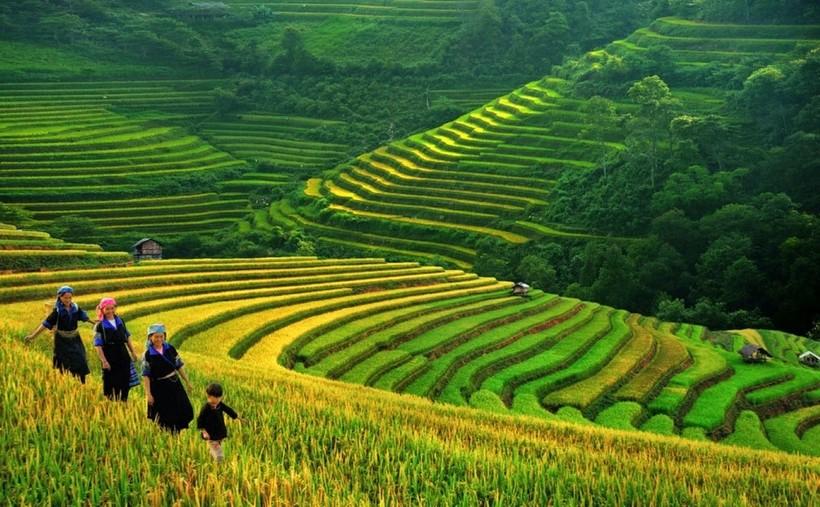 Рисовые поля Вьетнама.