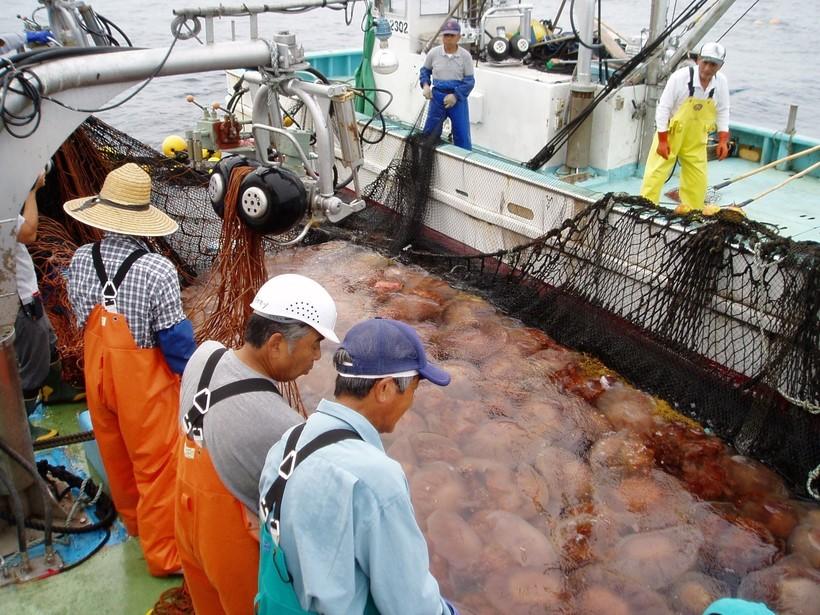 Почему медузы атакуют АЭС Швеции и Японии