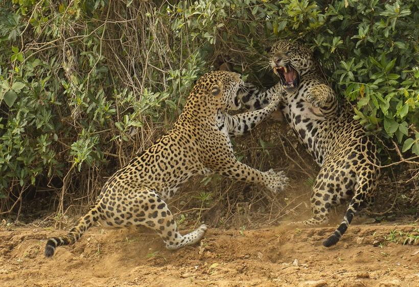 Самый лучший охотник среди кошачьих, которому по зубам анаконды, кайманы и броненосцы