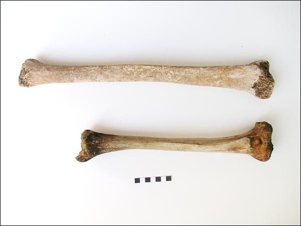 части скелета
