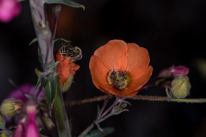 Выяснилось, что есть виды пчел, которые спят в цветах, и это выглядит фантастически