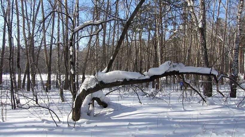 Сосновый бор в марте