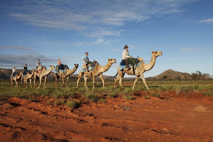 верблюды Австралии