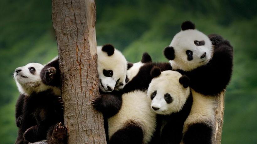 Загадка панд: почему хищные медведи перешли на бамбук