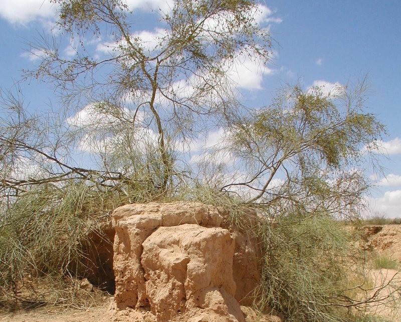Медвяную росу кустарника тамариска многие считают манной небесной
