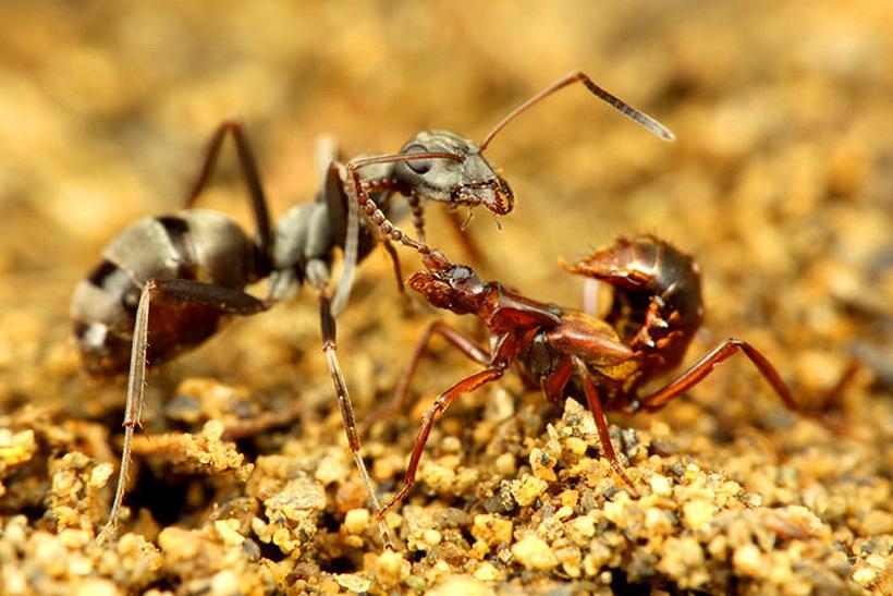 Жук ломехуза в муравейнике