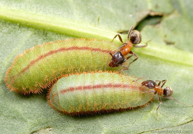 Муравьи нашли гусениц голубянок и скоро принесут их в муравейник