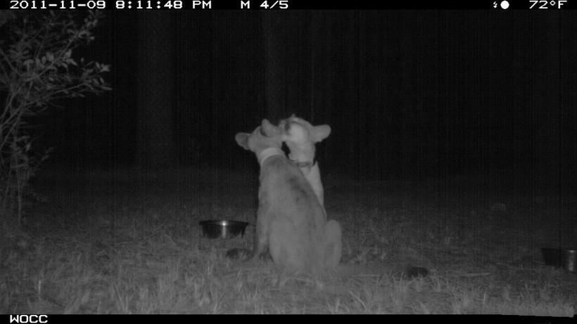 15 кадров, на которых фотоловушки застукали диких зверей за очень странными занятиями