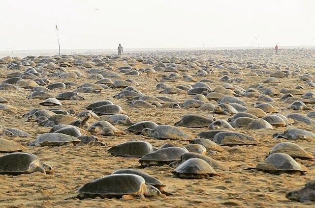Тысячи черепах строят гнезда на опустевших пляжах