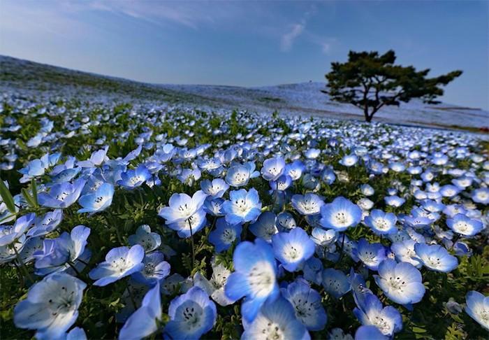В японском парке Хитачи пять миллионов немофил и ни одного посетителя