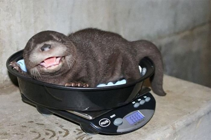 20 смешных фото о том, как ветеринары взвешивают различных животных