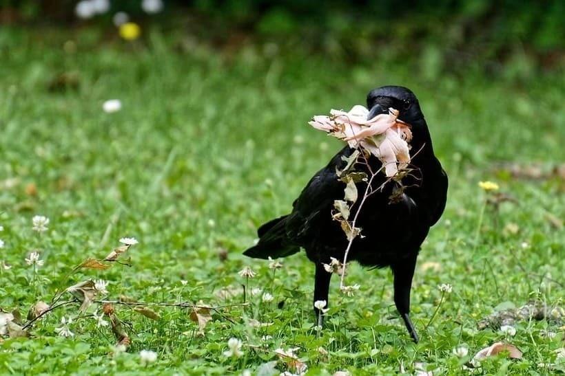 Ворон держит в клюве мясо