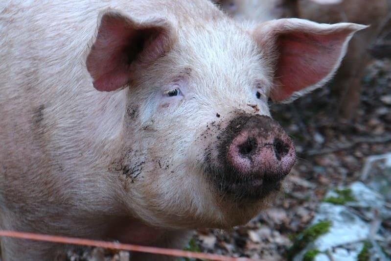 Испачкавшаяся в земле свинья