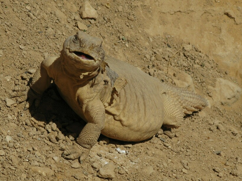 Так как мясо шипохвоста считается очень вкусным, на этих ящериц часто охотятся