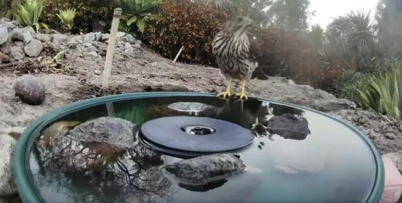 Видео: мужчина установил камеру у садового фонтанчика, из которого пьет весь лес