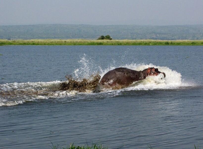 Гиппопотам в водах Нила