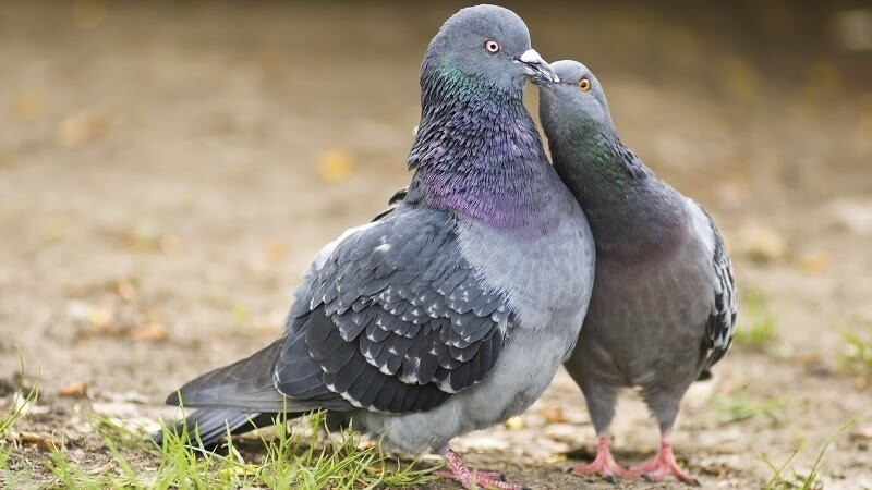 Самец и самка сизого голубя