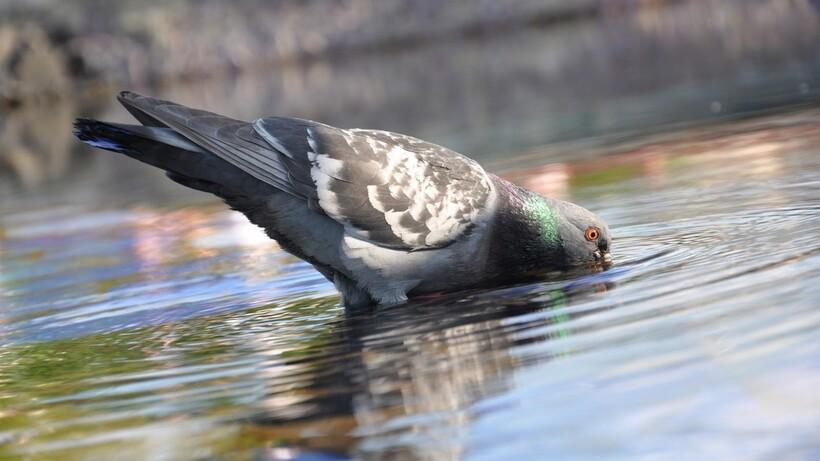 Голубь пьет воду