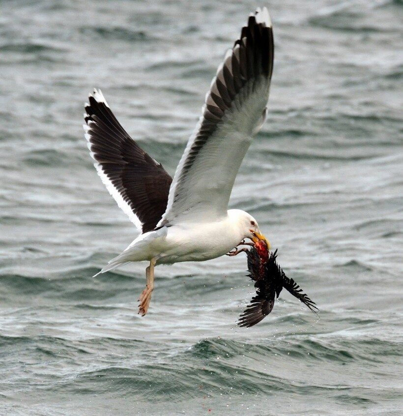 Естественные враги голубей