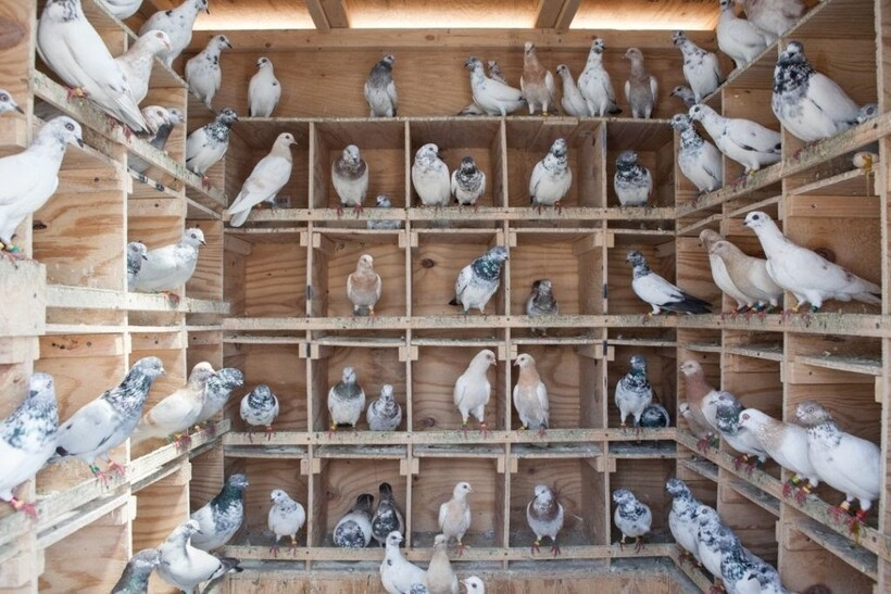 Внутреннее обустройство голубятни