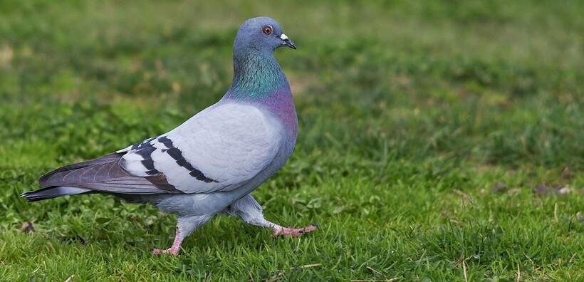 Птица голубь