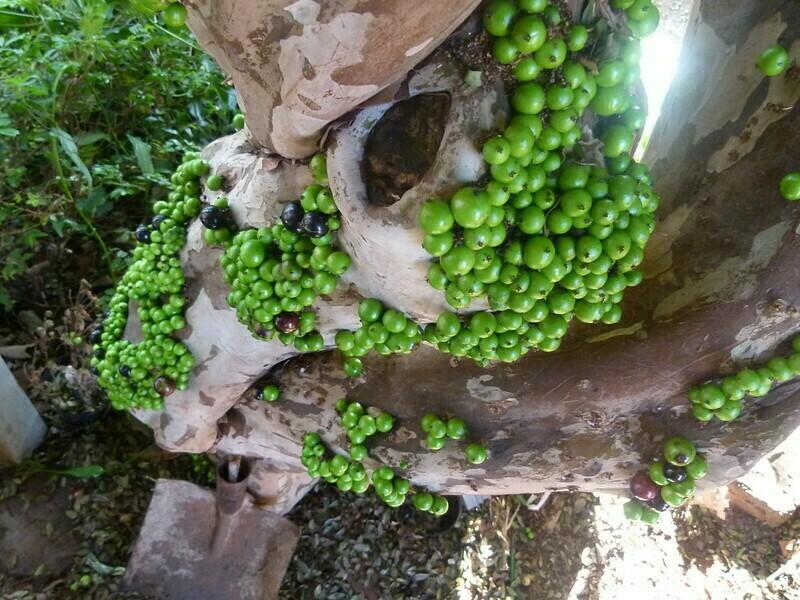 Плоды джаботикабы