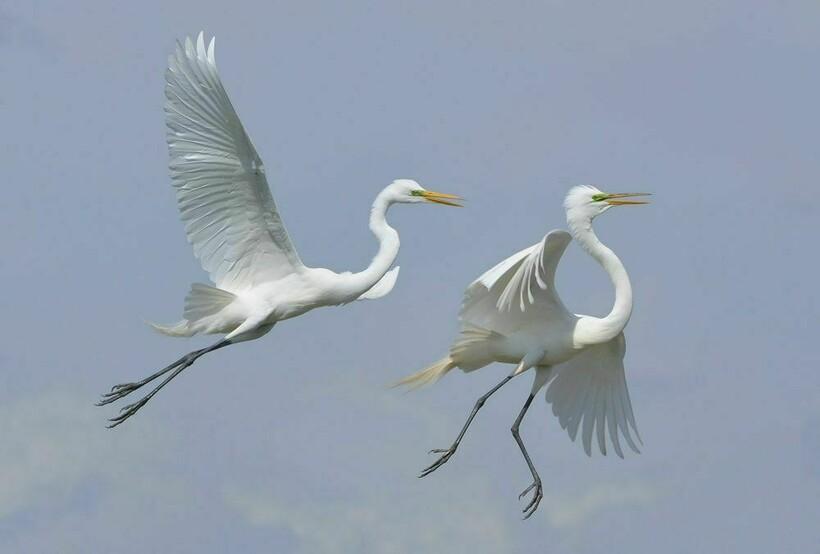 Летающие цапли