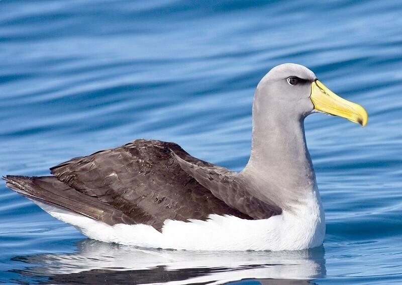 Сероголовый альбатрос отдыхает на воде