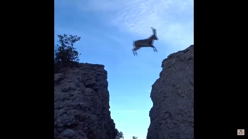 Видео: Невероятные прыжки горных козлов через пропасть