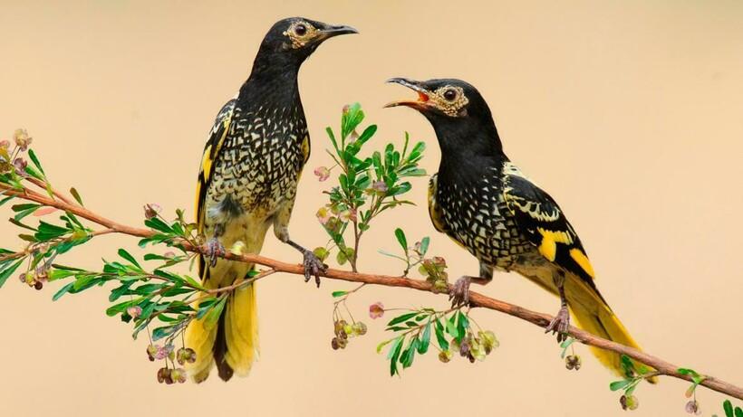 Эти птицы разучились петь