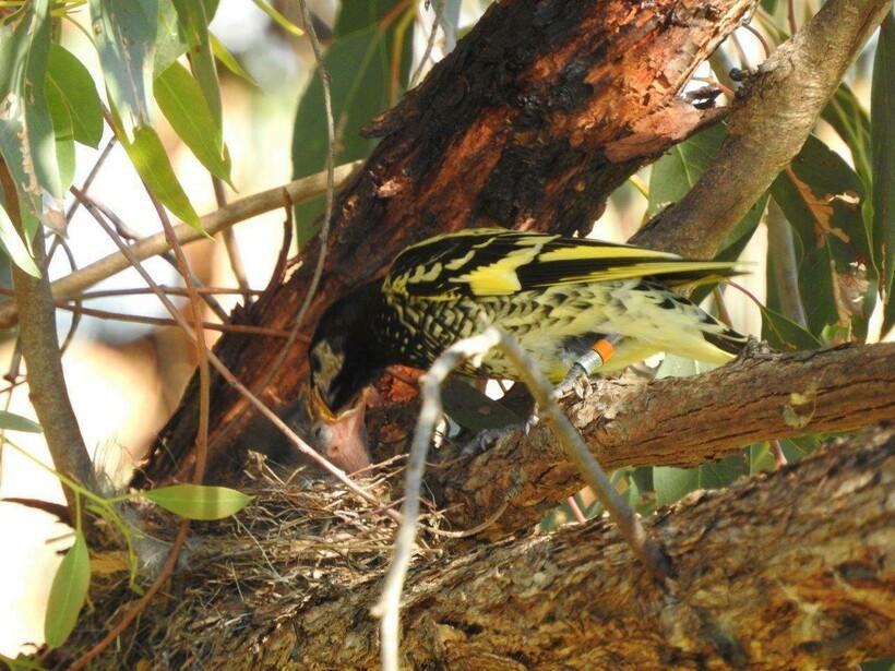 Медосос кормит птенца, в этот период птицы ведут себя особенно тихо