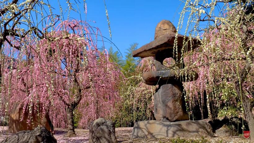 Видео: Пора цветущих умэ в Японии — сказочное пробуждение природы от зимнего сна