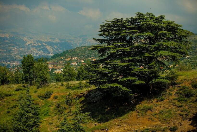 Ливанский кедр на склоне