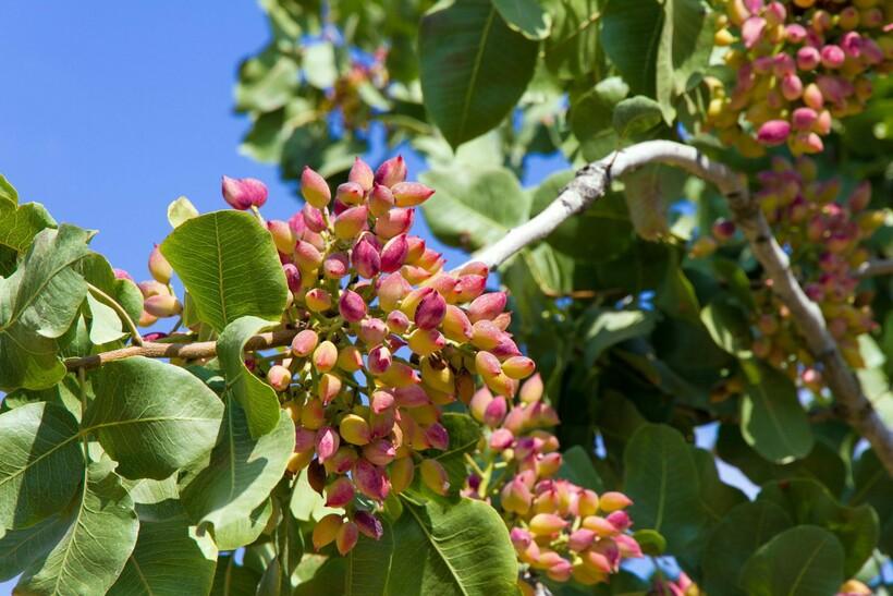 Фисташковое дерево с розовыми соцветиями