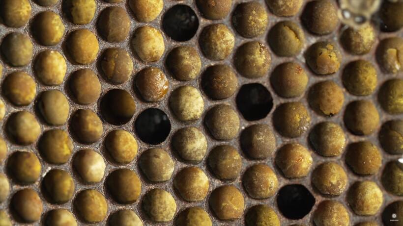Видео: Как пчелы собирают пыльцу и зачем делают из нее хлеб, главный запас еды в улье