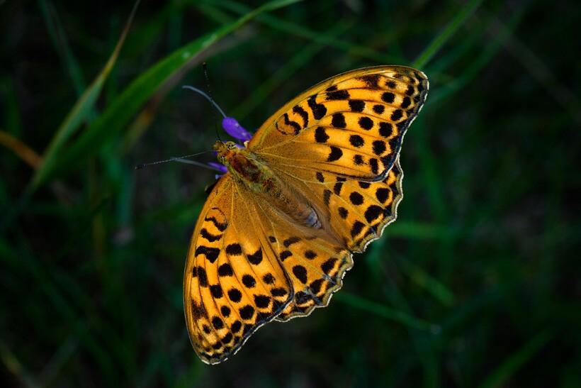 Бабочка перламутровка бледная