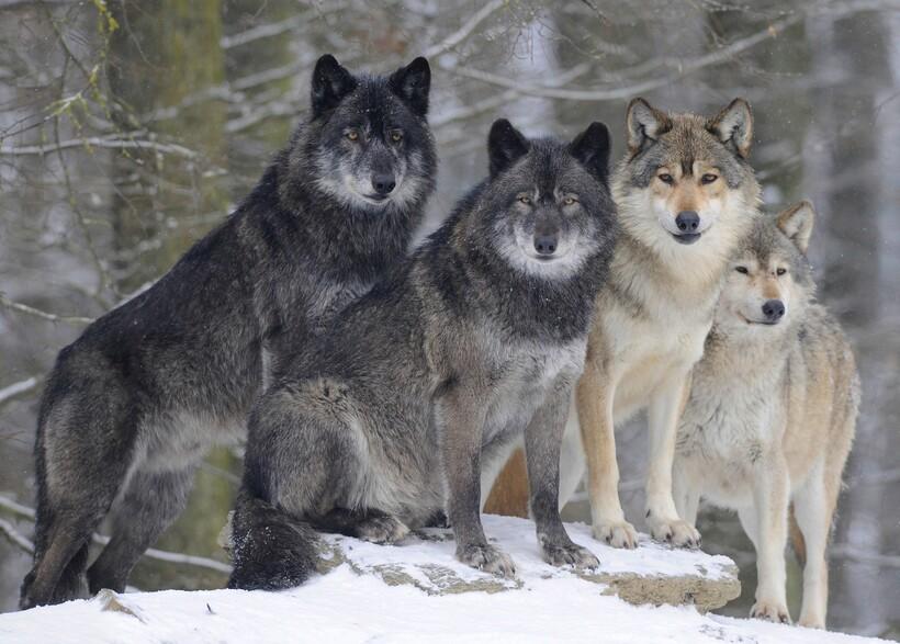 Дикие кошки могут быть куда опаснее волков и даже когда-то были причиной сильного сокращения их популяции