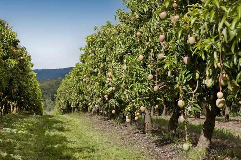 Индия ― крупнейший поставщик в мире этих вкусных фруктов. На фото — одна из манговых ферм страны